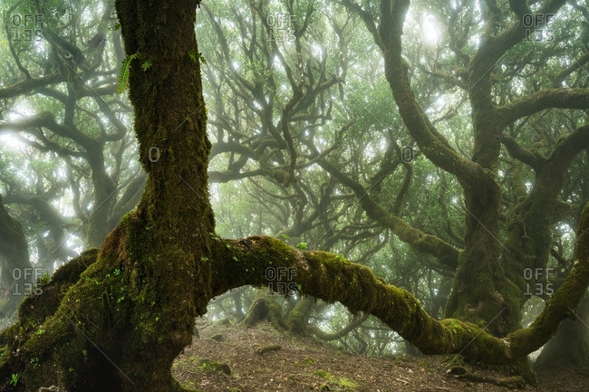 Moss covered branches of trees in a foggy forest on the Madeira Islands of Portugal