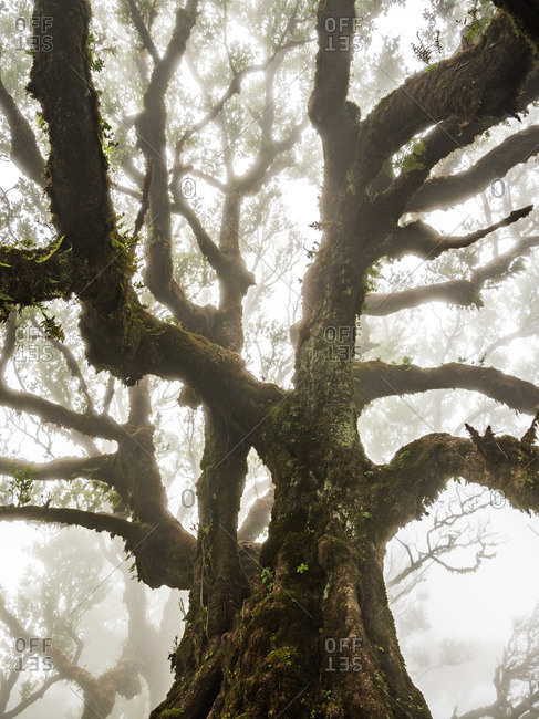 Branches of a gnarled tree on a foggy day in the Madeira Islands of Portugal
