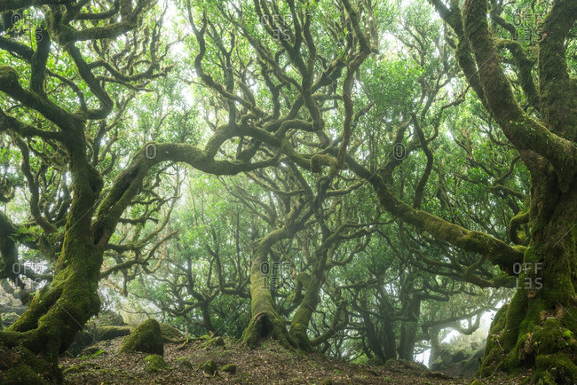 Forest canopy of many mossy branches on a foggy day in the Madeira Islands of Portugal