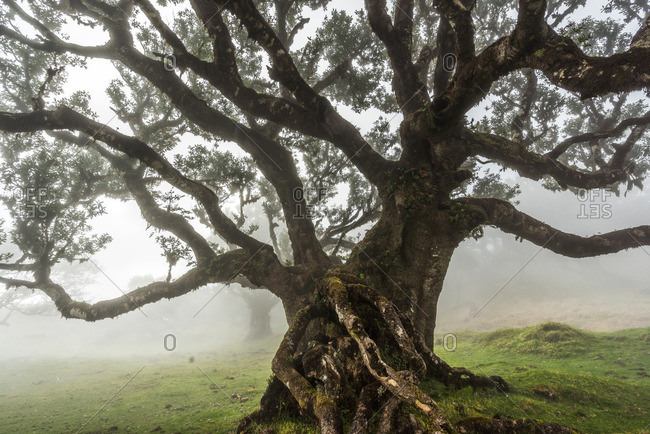 Ancient tree on a foggy day in the Madeira Islands of Portugal