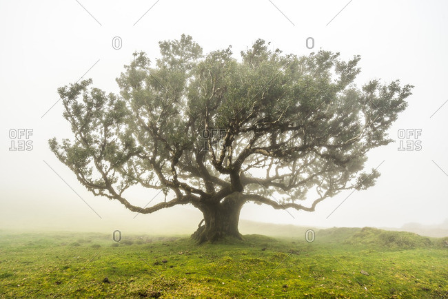 Solitary tree in a field on a foggy day in the Madeira Islands of Portugal