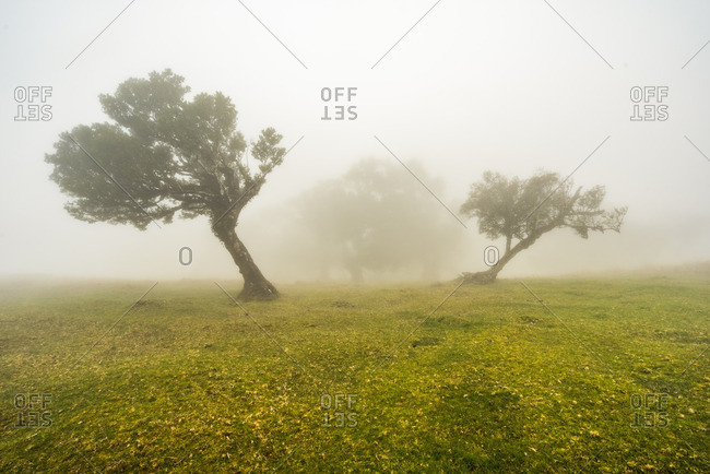 Wind-sculpted trees in a grassy glade on a foggy day in the Madeira Islands of Portugal