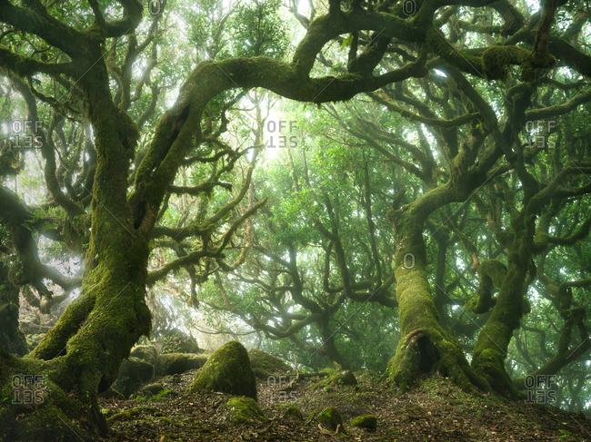 Moss covered trees in an old-growth forest on the Madeira Islands of Portugal