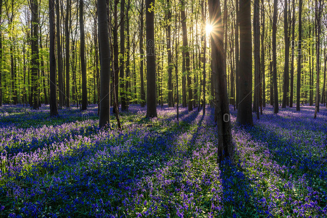 Sun shining through the trees above a field of wildflowers in the Hallerbos Forest in Belgium