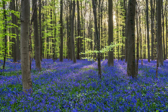 Field of blue wildflowers in the Hallerbos Forest in Belgium