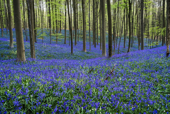 Blue wildflowers beneath the trees in the Hallerbos Forest in Belgium