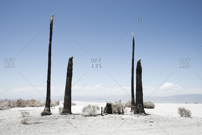 Tall charred tree stumps on a white sand beach at Salton Sea Beach, California