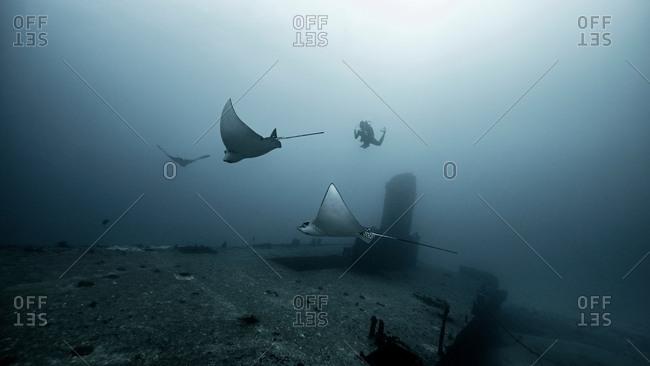 Eagle rays gliding over shipwreck, Cancun, Mexico