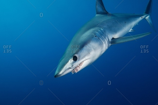 Underwater view of menacing shortfin mako shark (Isurus oxyrinchus) swimming in blue sea, West Coast, New Zealand