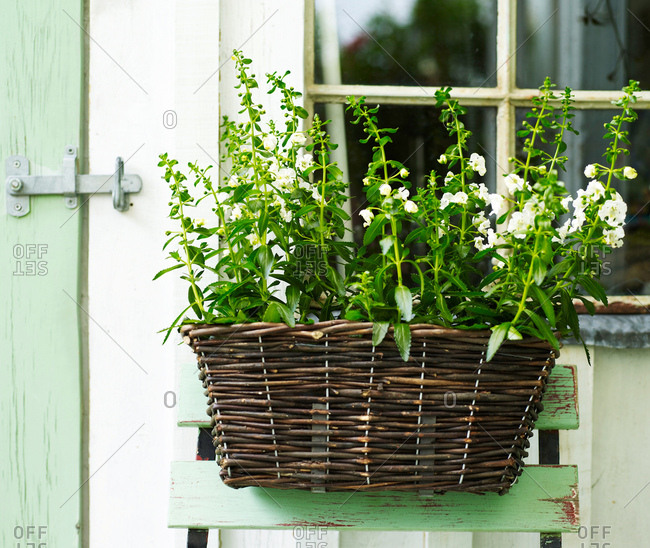 Garden plant with white flowers in wicker basket on shed
