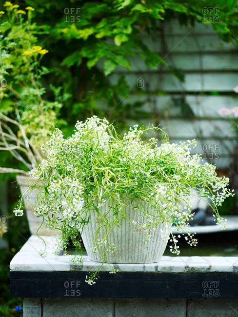 Garden plant with white flowers in white plant pot