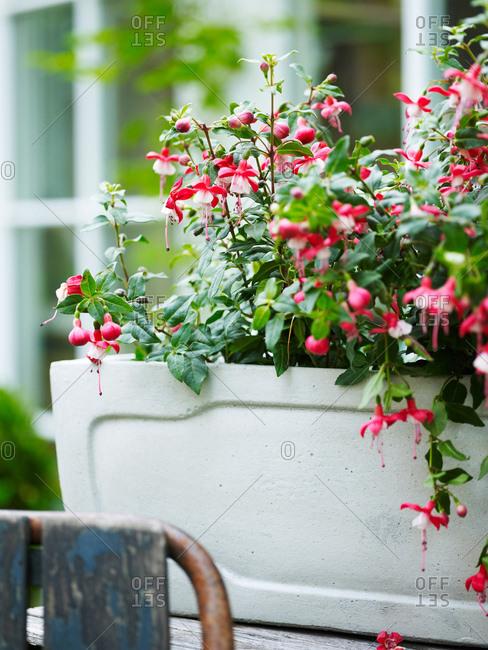 Pink flowered fuchsia garden plant in garden plant pot
