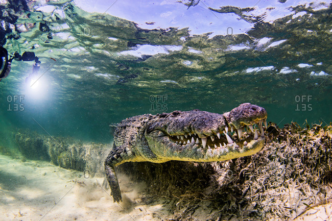 Underwater view of crocodile on seabed, Chinchorro Banks, Mexico