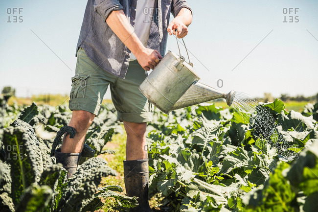 Chest down of man in vegetable garden watering plants with watering can