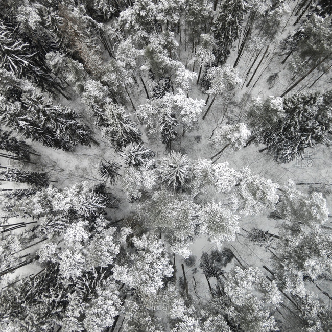 Snow covered treetops in a forest in Lithuania