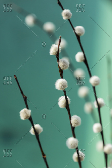 Pussy willow, Salix, close-up