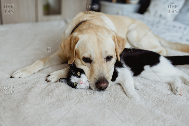 Dog resting head on black and white cat