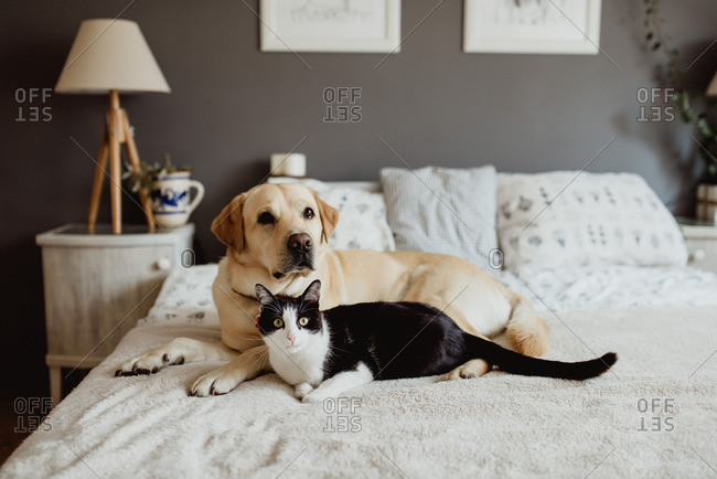 Yellow lab and black and white cat lying together on bed