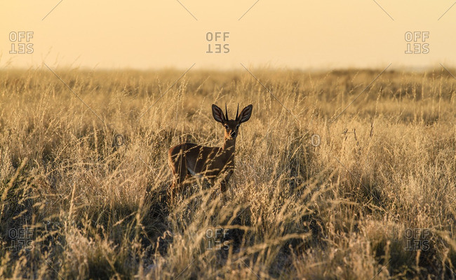 Steenbock in grassy plains of Namibia at sunset
