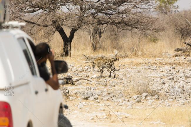 Leopard seen from safari vehicle in Etosha National Park, Namibia