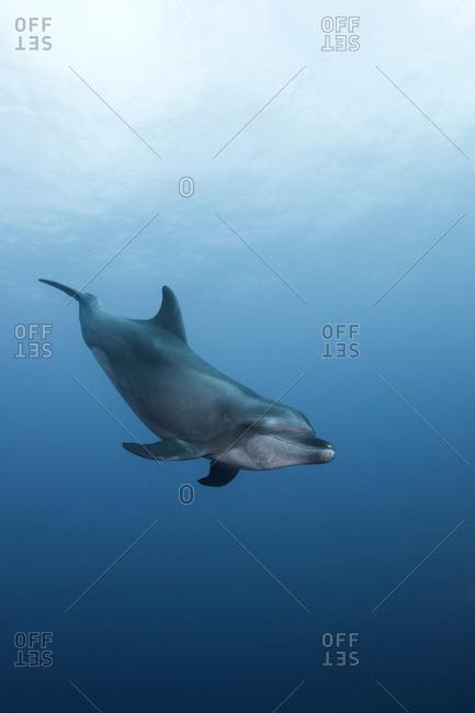 Atlantic Bottle Nose Dolphins (Tursiops Truncatus) Socorro Island, Mexico