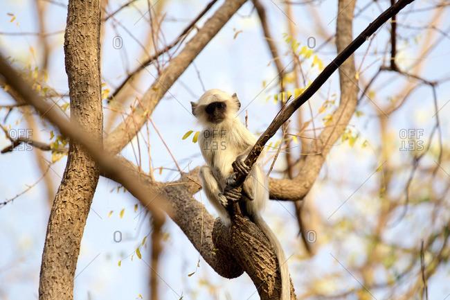 Langur monkey - juvenile - Semnopithecus entellus, Satpura National Park, Madhya Pradesh India