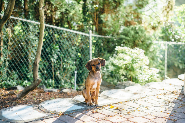 Little brown puppy sitting by a backyard fence