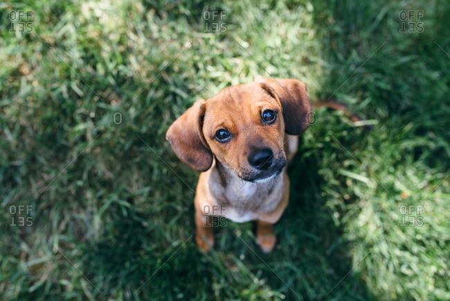 Portrait of a little brown puppy