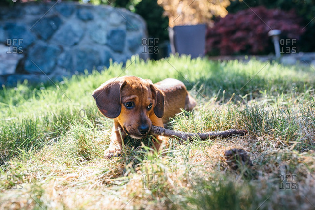 Little brown puppy chewing on a stick