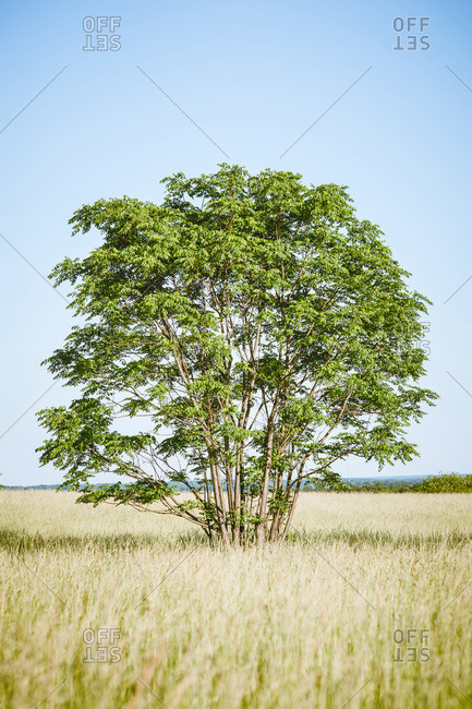 Single tree growing in a grassy plain