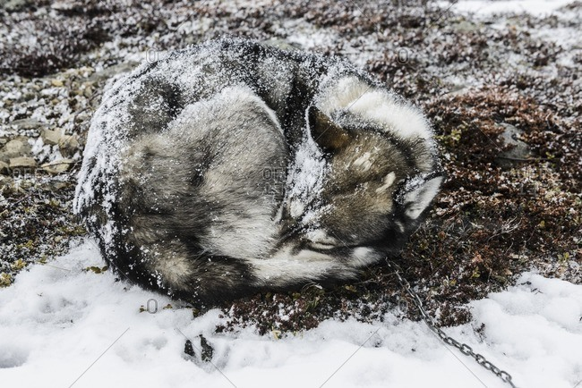 Dog covered by snow