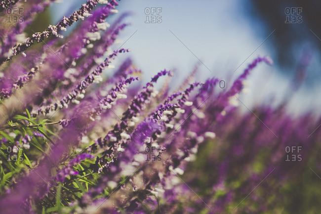 Long stemmed purple flowers - Offset