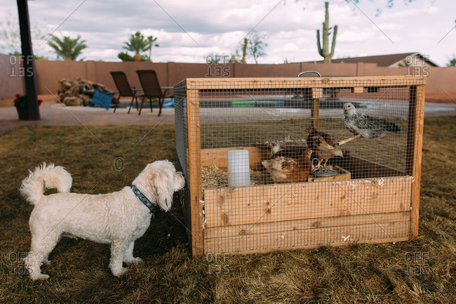 Dog sniffing at chicken coop