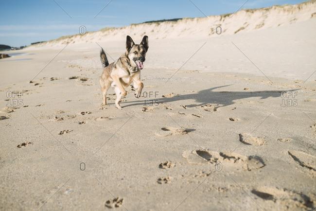 Mongrel running on the beach