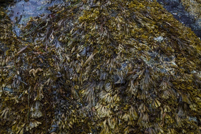 Kelp beds covering the ground on the coast of Olympic National Park, WA