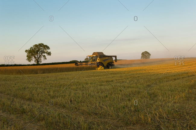 Crop field of oil seed rape and combine harvester
