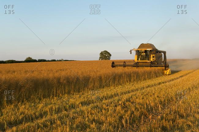 Crop field of oil seed rape cut by combine harvester