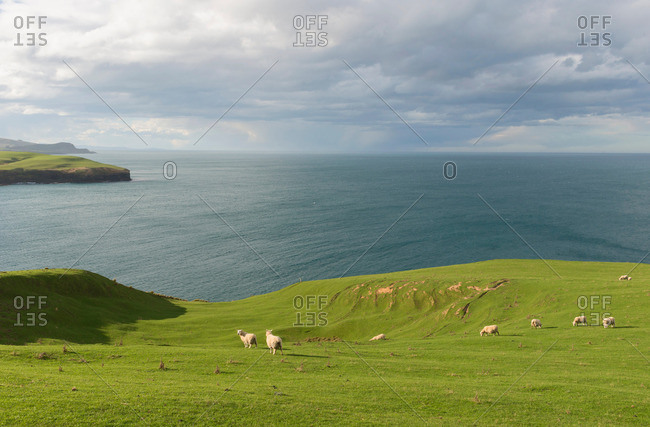 Sheep grazing on coastal pasture, Dunedin, Otago, South Island, New Zealand