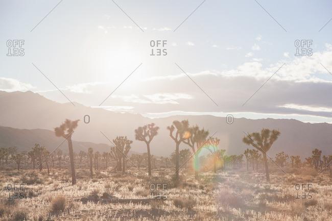 Joshua trees in a desert