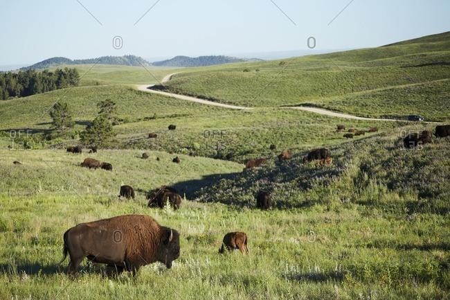 Herd of bison in South Dakota