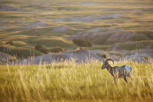 Sheep in Badlands National Park