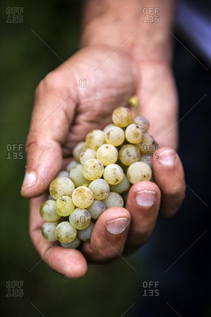 Pinot Bianco grapes