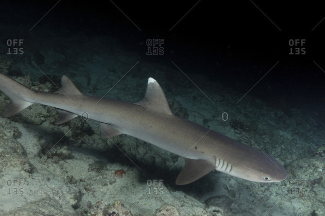 Solitary Whitetip reef shark at dusk