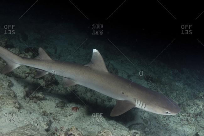 Solitary Whitetip reef shark at dusk