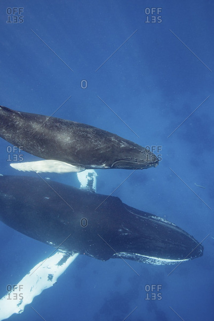 Mother with humpback whale with calf