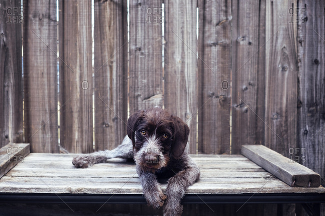 Portrait of German Wirehaired Pointer sitting on wooden table against fence