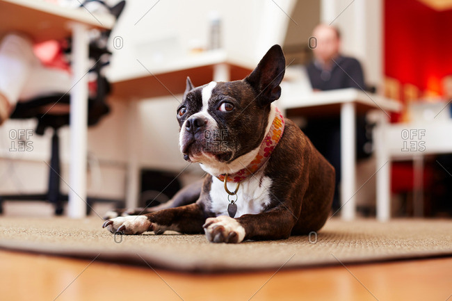 Portrait of curious dog lying on rug  in an office