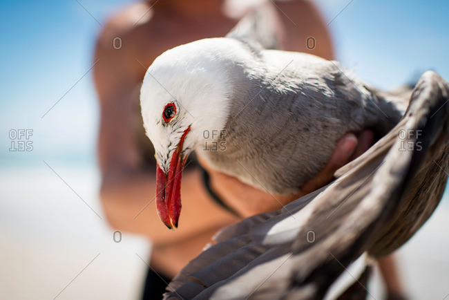Mid adult male holding seagull, focus on seagull