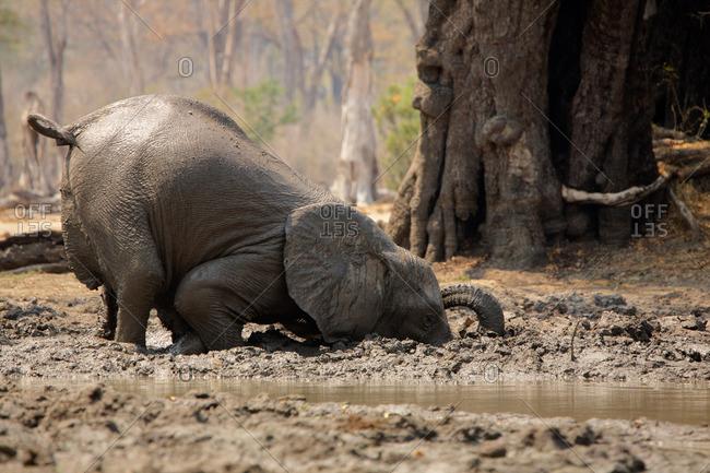 Baby elephant having a mud bath, Mana Pools, Zimbabwe