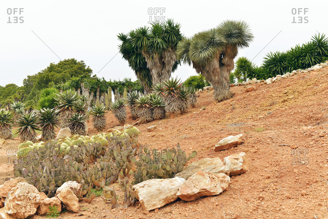 Ses Salines, Spain - May 23, 2016: Yucca trees on a dirt slope in the Botanicactus garden